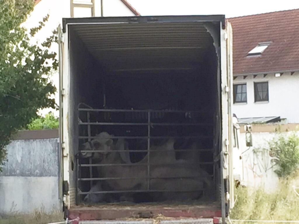 Die Kamele übernachten im Lastwagen.